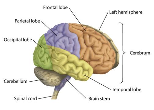 english_brain